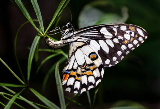 Monarch Butterfly Insect Free Photo
