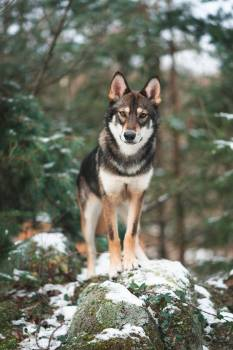 Timber wolf Wolf Canine #287193