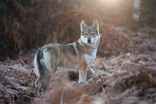 Timber wolf Wolf Canine #287234