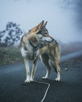Wolf Canine Coyote #287269