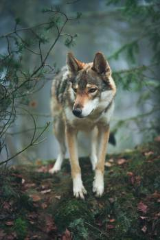 Wolf Canine Timber wolf #287304
