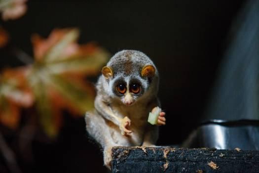 Primate Lemur Mammal #288390