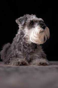 Miniature schnauzer Schnauzer Terrier #288496
