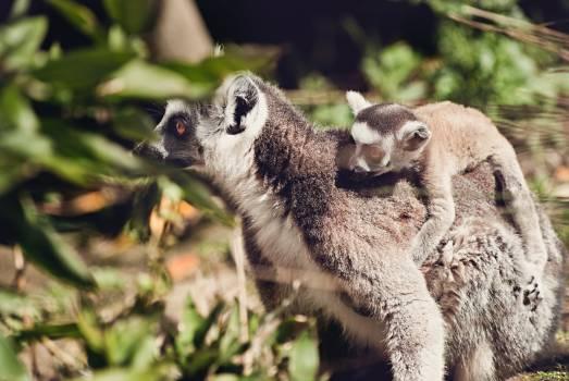 Lemur Primate Mammal #288695