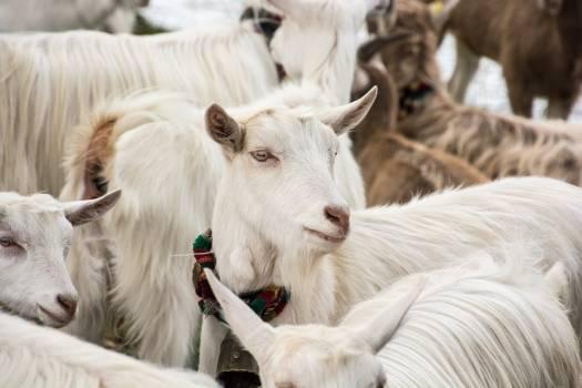 Farm Cow Animal Free Photo
