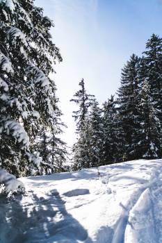 Snow Fir Winter Free Photo