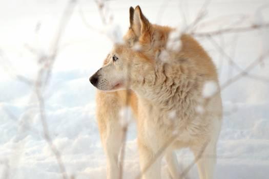 Wild dog Canine Dingo #291110