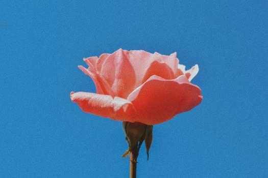 Bud Petal Flower Free Photo