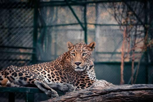 Leopard Feline Big cat #293333