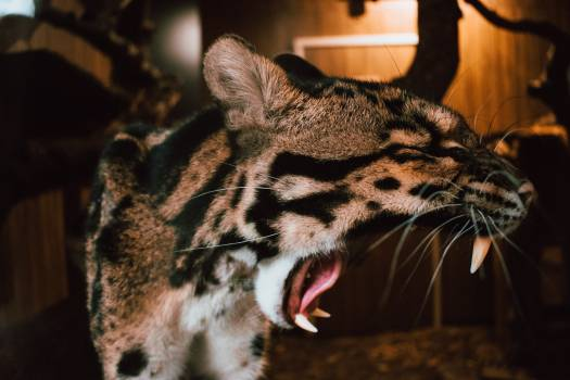 Leopard Fur Cat #294118