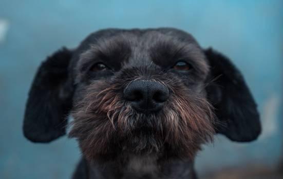 Schnauzer Terrier Dog #294240