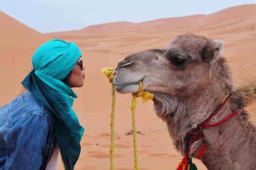 Camel Ungulate Mammal #294302