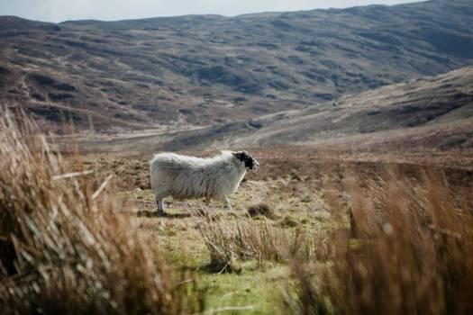 Sheep Ram Simpleton Free Photo