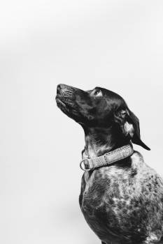 Dog Pet Canine #295031