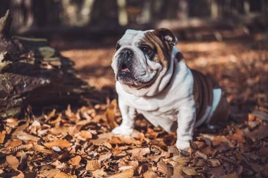 Dog Canine Bull mastiff #295483