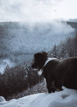 Dog Canine Newfoundland #296497