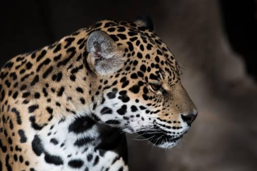 Jaguar Leopard Feline #297587