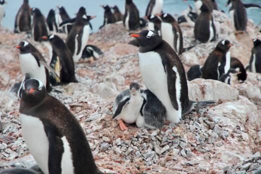 King penguin Seabird Penguin Free Photo