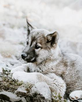 Wolf Canine Timber wolf #297969