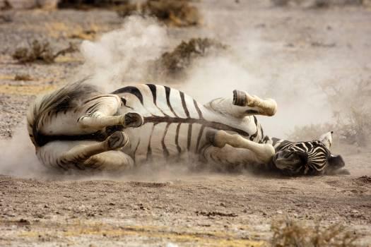Tiger Big cat Feline #298117