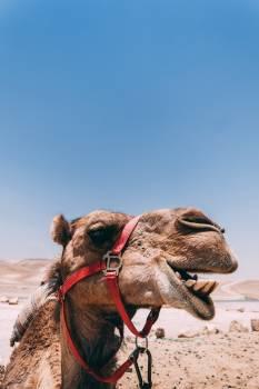 Camel Ungulate Mammal Free Photo