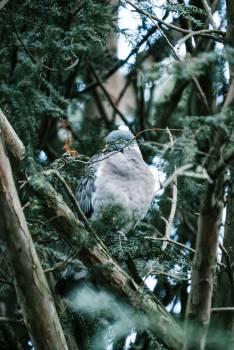Dove Jay Bird #298772