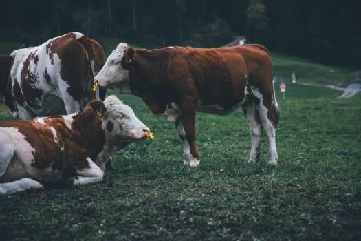 Cow Cattle Farm Free Photo