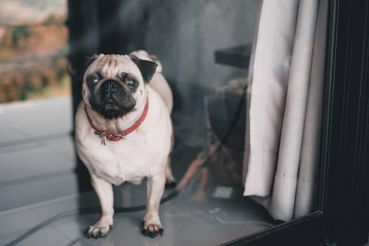 Pug Dog Domestic animal #299961