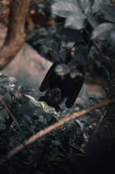 Bat Placental Mammal Free Photo