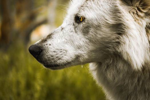 Timber wolf Wolf Canine #302675
