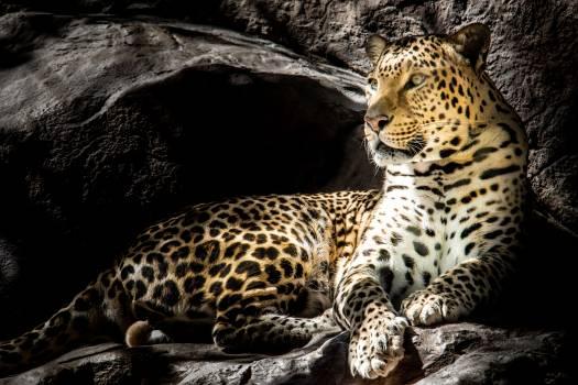 Jaguar Leopard Big cat #303846