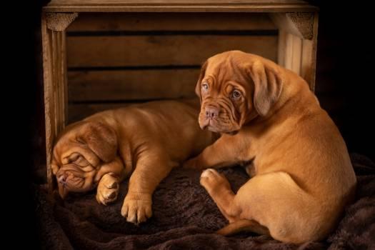 Bull mastiff Dog Canine #304635