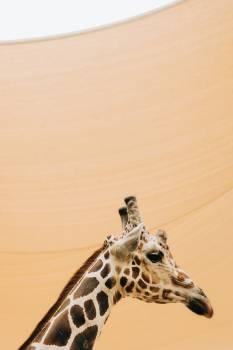 Giraffe Desert Tract Free Photo