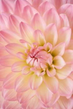 Lotus Pink Flower Free Photo