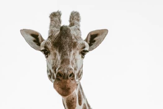 Animal Mammal Ear Free Photo