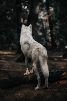 Timber wolf Wolf Canine #308222