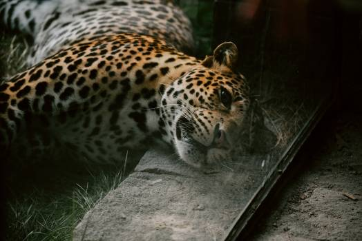 Jaguar Big cat Feline #308999