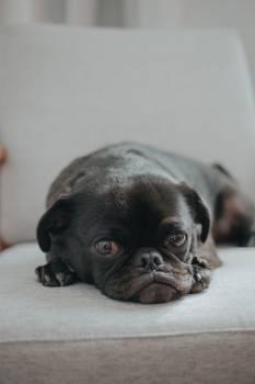 Pug Dog Domestic animal #309083