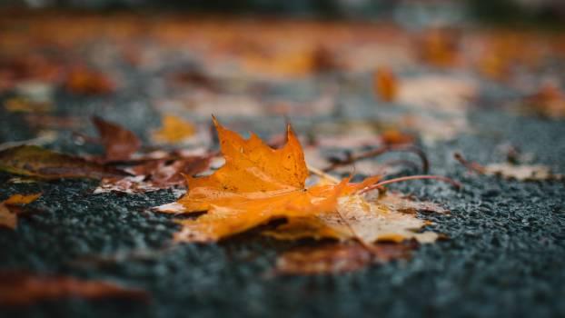 Maple Autumn Starfish Free Photo