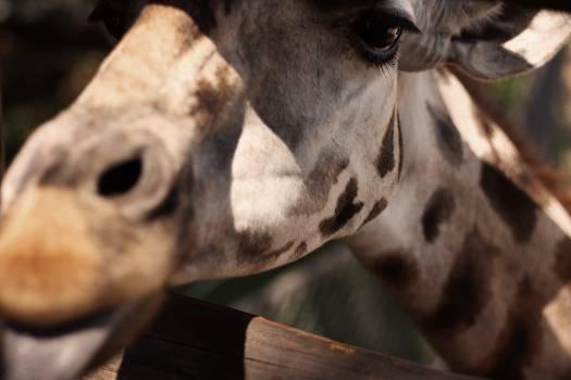 Giraffe Horse Animal Free Photo