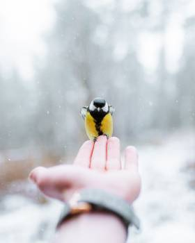 Bird Snow Finch Free Photo