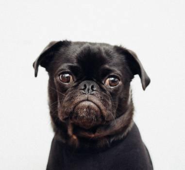Pug Dog Domestic animal #310058
