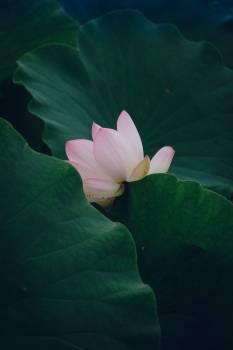 Aquatic Lotus Flower #310340