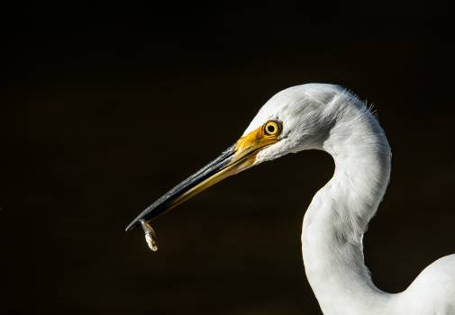 Egret Heron Bird Free Photo
