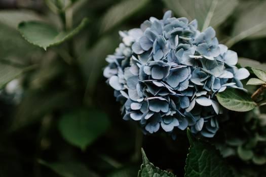 Hydrangea Shrub Lilac Free Photo