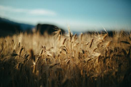 Wheat Cereal Field #312589