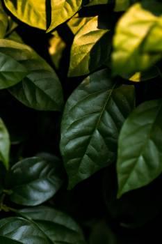 Basil Herb Plant Free Photo