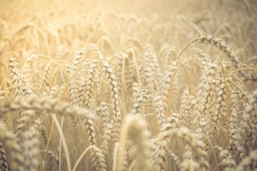 Wheat Cereal Agriculture Free Photo