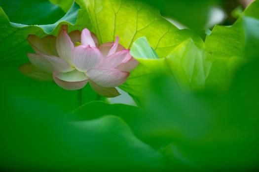 Lotus Pink Flower #315262