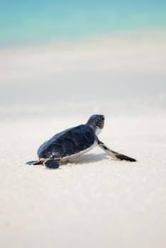 Sea turtle Turtle Reptile Free Photo